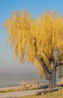 Trauerweide 'Salix alba Tristis' Bodenseeufer Insel Reichenau