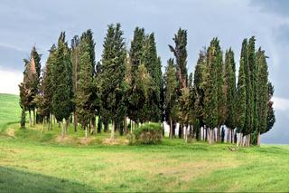 Beauty cypress grove