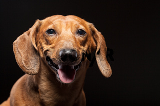 portrait of cute brown dachshund dog isolated on black background with copyspace
