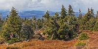 Fichten mit Heidelbeeren am Brocken im Harz