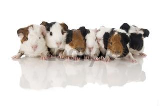 Mehrere Meerschweinchen in Reihe auf weiß