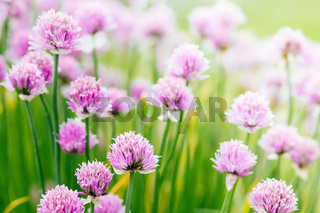 Chive herb flowers on beautiful bokeh background