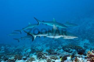 Grauer Riffhai, Franzoesisch Polynesien