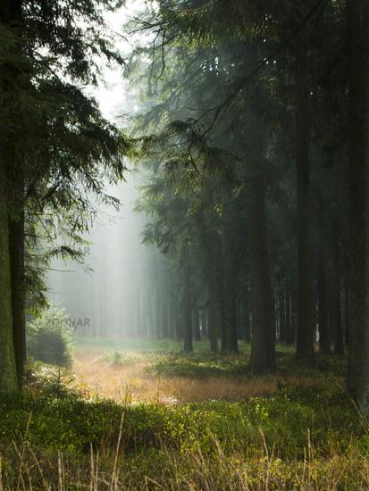 Light rays in a Fir Forest
