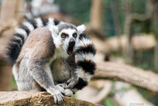 Adult specimen of Lemur inside Rome's Biopark