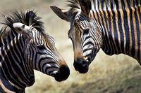 Plains Zebra, Nature Reserve, South Africa