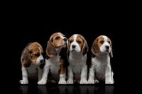 tricolor little beagle baby puppy