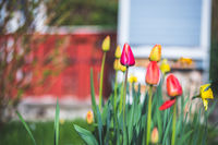 Spring time flower scenery: Colorful spring flowers with tulips and narcissus