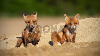 Red fox siblings sitting on a sand in spring sunlight