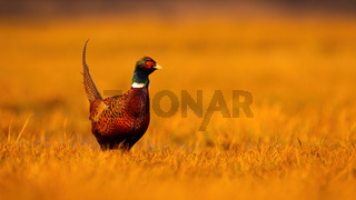 Common pheasant male standing on dry field in golden hour