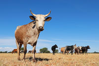 Nguni cow - indigenous cattle breed of South Africa - on rural farm