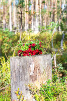 Bouquet of ripe red lingonberry with berries in a forest