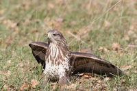 common buzzard (Buteo buteo) germany