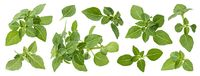 Greek basil leaves isolated on white background with clipping path