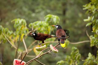 Montezumastirnvogel (Gymnostinops montezuma)