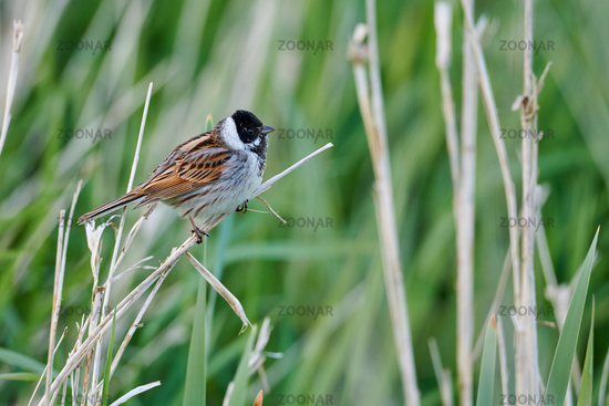 Common reed bunting from Germany
