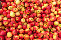 Picked red apples at harvest
