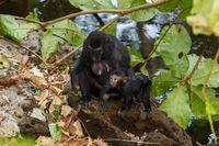 endemic sulawesi monkey Celebes crested macaque