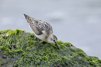 A Sanderling searches for food among sea lettuce on a rock in the surf / Calidris alba