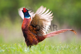 Common pheasant male lekking with open wings on a green meadow in spring nature