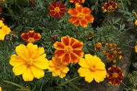 yellow, orange summerflowers