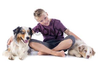 australian shepherds and boy