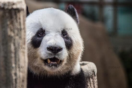 Portrait of a panda
