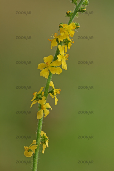 Common agrimony (Agrimoniaeupatoria)