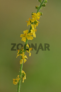 Gemeiner Odermennig (Agrimoniaeupatoria)