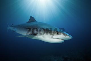 Tigerhai, Franzoesisch Polynesien