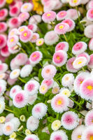 Blooming white pink daisies