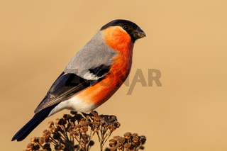 Adult male of eurasian bullfinch perched on the dry plant