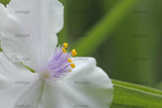 Three-master flower (Tradescantia)
