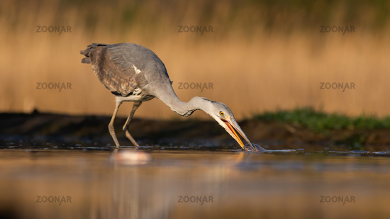 Grey heron stretching neck and taking a fish out of water during morning hunt