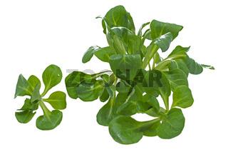 Frischer Feldsalat auf weißem Hintergrund