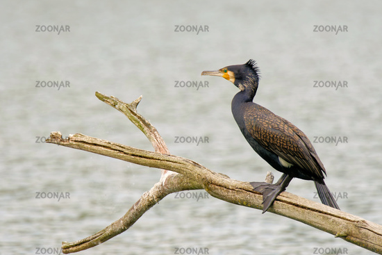 Great cormorant sitting on a branch
