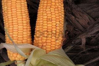 Maiskolben auf Maisstroh