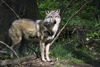 Europäischer Wolf ( Canis lupus ).