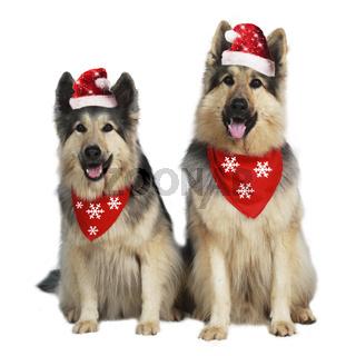 Two german shepherd dogs with christmas hats