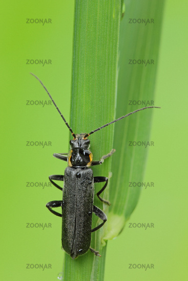 Black soldier beetle (Cantharis obscura)