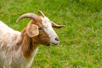 Portrait of a brown and white domestic goat (capra hircus) with a green meadow in the background