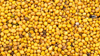 ripe yellow seeds of Sinapis Alba mustard