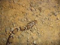 Head of Gunther racer, Coluber gracilis, Satara, Maharashtra, India. Rarely seen snake found in dry parts of western India.