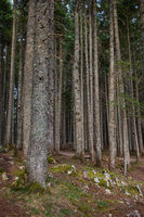 Very beautiful and dense forest in Durmitor National Park, Montenegro.