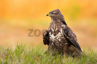Common buzzard sitting on grassland in spring nature