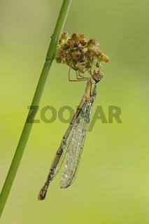 Libelle (Odonata)
