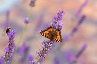 tortoiseshell butterfly on lavender