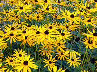 Close up of many yellow flowers of rudbeckia