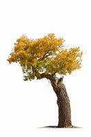 populus diversifolia tree isolated