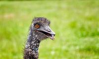 Ostrich head frontal